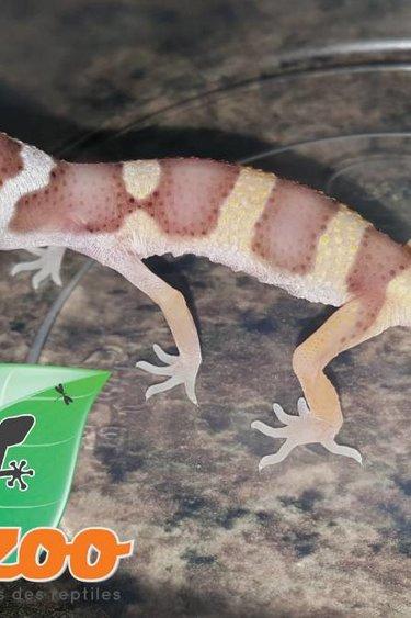 Magazoo Gecko léopard bell albino Las Vegas bébé