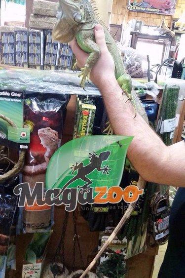 Magazoo Iguane Vert Femelle Adulte