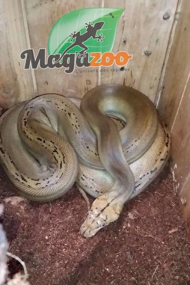 Magazoo Python réticulé golden child platinum het purple albino mâle  2016