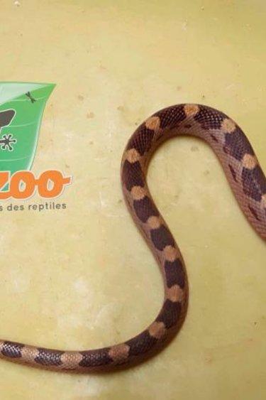 Magazoo Serpent des blés motley mâle bébé