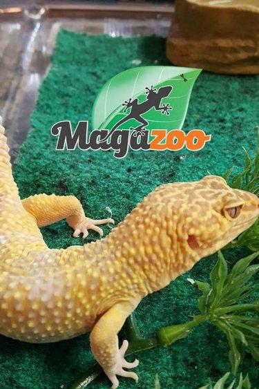 Magazoo Gecko léopard tremper albino mâle adulte