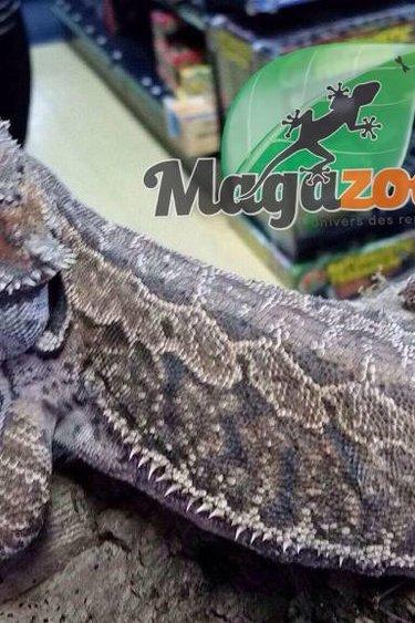 Magazoo Dragon barbu leatherback mâle adulte
