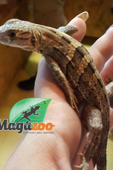 Iguane noir mexicain à queue épineuse mâle