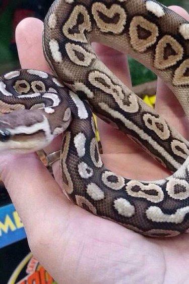 Magazoo Python royal black pewter femelle