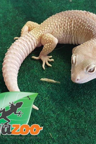 Magazoo Gecko léopard blazing blizard paradox mâle juvénile