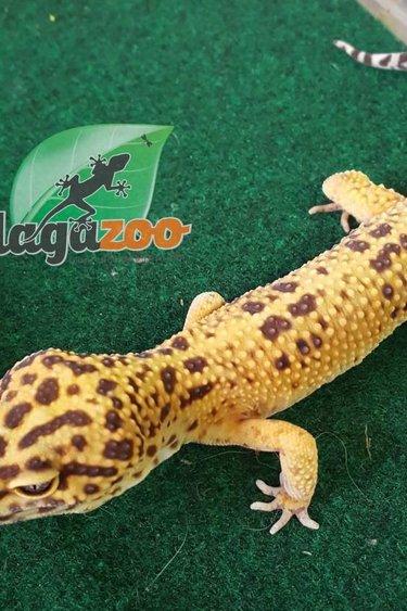 Magazoo Gecko léopard sunglow mâle adulte