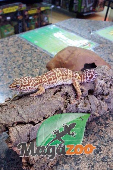Magazoo Gecko léopard phantom femelle adulte (queue repoussée)