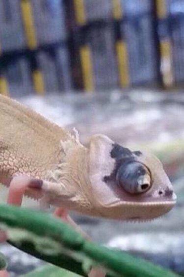 Magazoo Caméléon casqué du Yemen bébé super translucide Mâle