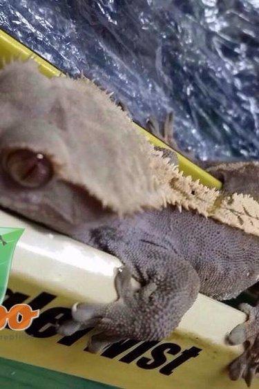 Magazoo Gecko à Crête Bicolor Mâle Adulte