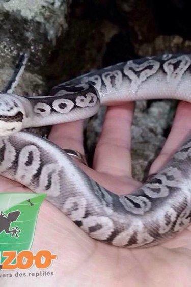 Magazoo Python royal silver streak super pastel black pastel femelle