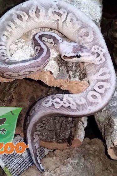Magazoo Python royal silver streak super pastel black pastel  mâle