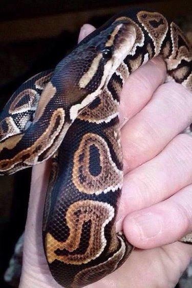 Magazoo Python royal black pastel femelle