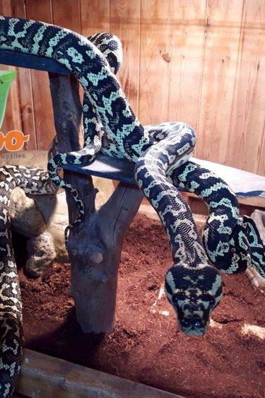 Python tapis jungle femelle adulte