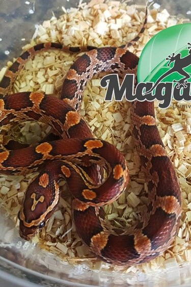 Magazoo Serpent des blés Okeetee bébé male