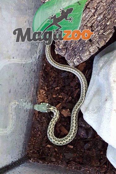 Magazoo Serpent  jarretière couleuvre à damier