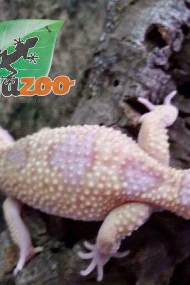 Magazoo Gecko léopard raptor snow femelle adulte