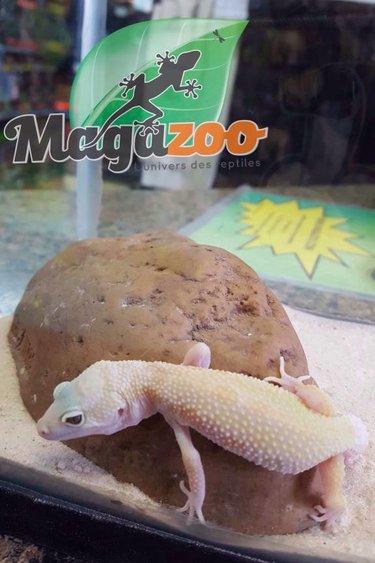 Magazoo Gecko Léopard mack snow albino patternless bébé