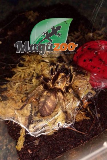 Magazoo Araignée tigrée du Chili (Acanthogonatus francki)