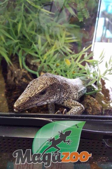 Magazoo Ameive vert mâle adulte