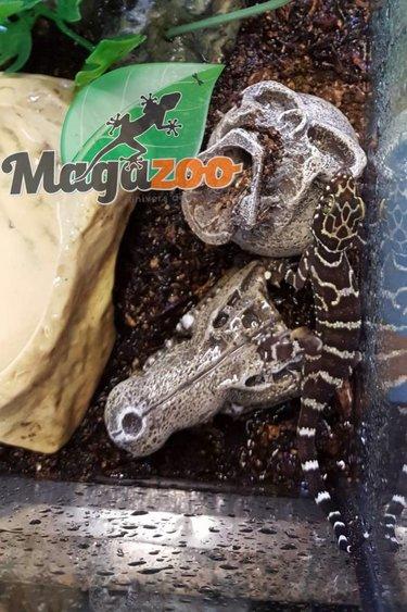 Magazoo Gecko Peter des forest bébé né en captivité