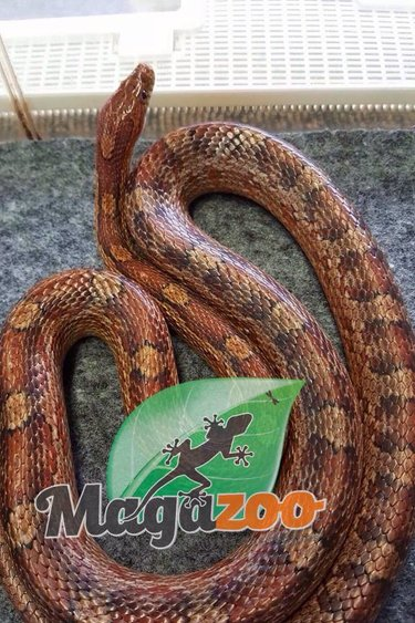 Magazoo Serpent des blés régulier mâle adulte