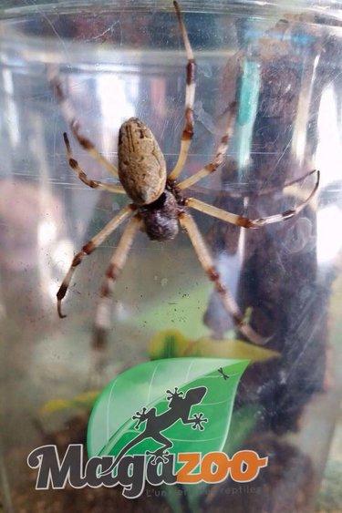 Magazoo Araignée argiope (Argiope sp.)