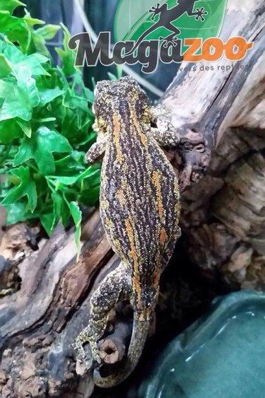 Magazoo Gecko gargouille mâle adulte