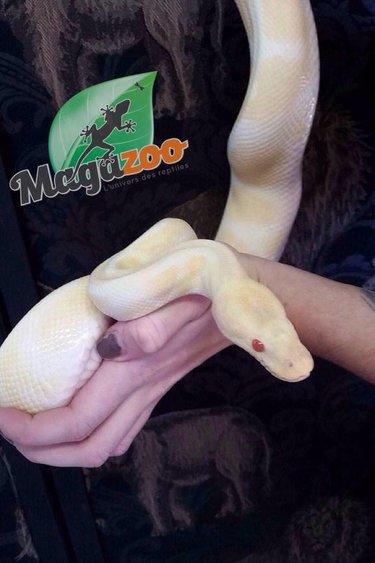 Magazoo Python royal albinos mâle