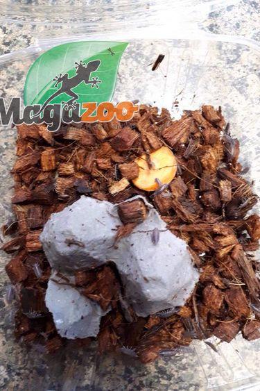 Magazoo Culture Cloporte Prune Porcellionides pruinosus