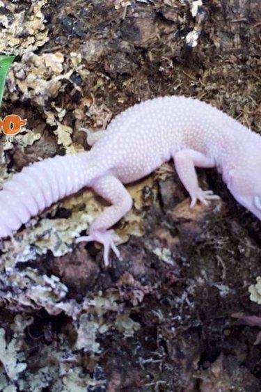Magazoo Gecko léopard super snow blazzing juvénile