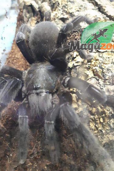 Mygale noire thailandaise