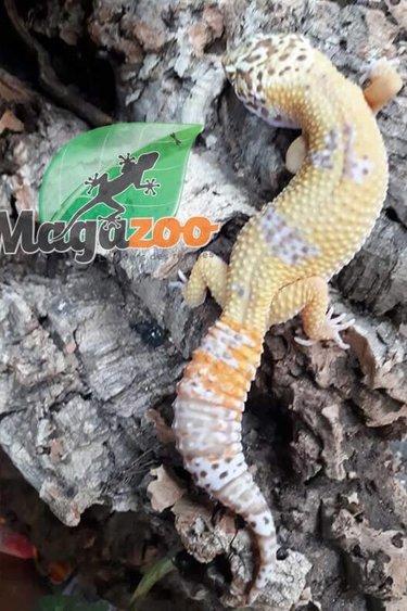 Magazoo Gecko léopard bell tangerine femelle