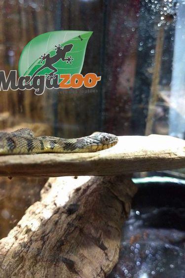 Serpent d'eau de Floride (Nerodia rhombifer)