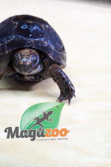 Magazoo Tortue grecque noire