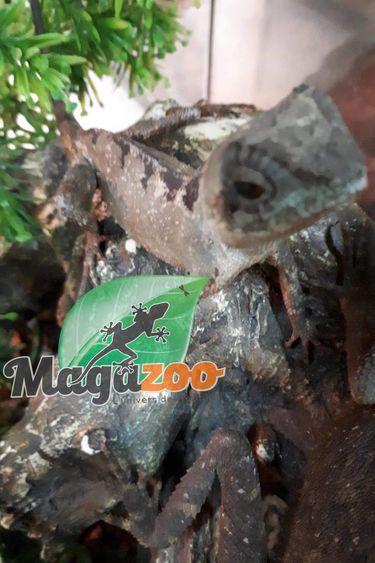Magazoo Dragon de montagne Nain femelle