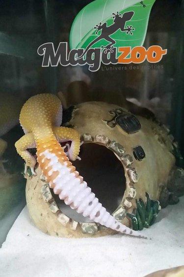 Magazoo Gecko léopard W&Y sunglow  femelle