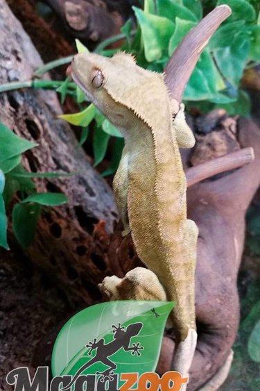 Magazoo Gecko à Crête Patternless Mâle Adulte