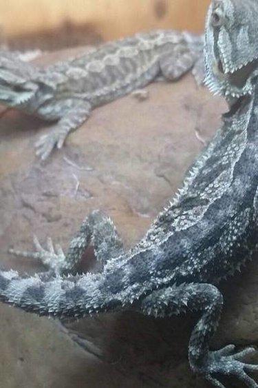 Magazoo Dragon Barbu Juvénile
