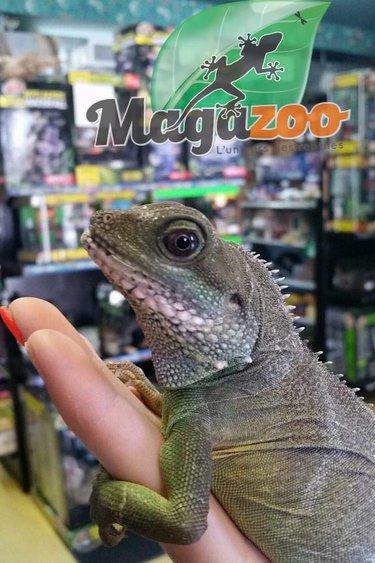 Magazoo Dragon d'eau chinois femelle