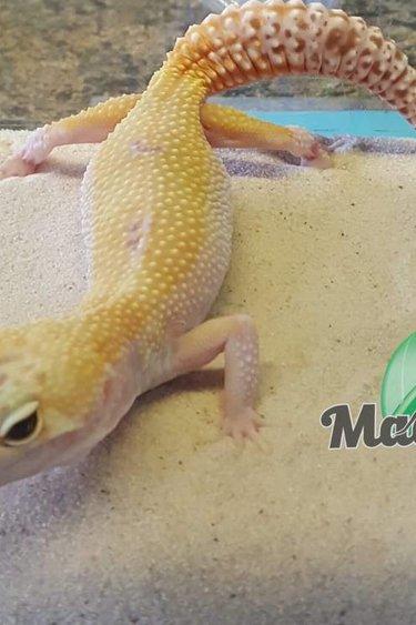 Magazoo Gecko léopard W&Y raptor