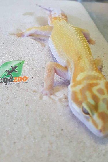 Magazoo Gecko léopard W&Y sunglow