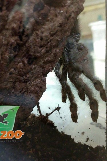 Mygale à jambes plumées/Stromatopelma calceatum