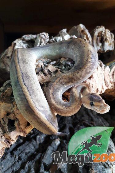 Magazoo Python royal champagne bébé mâle