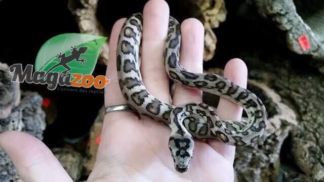 Magazoo Python tapis sibling jungle x breld jaguar (bébé)