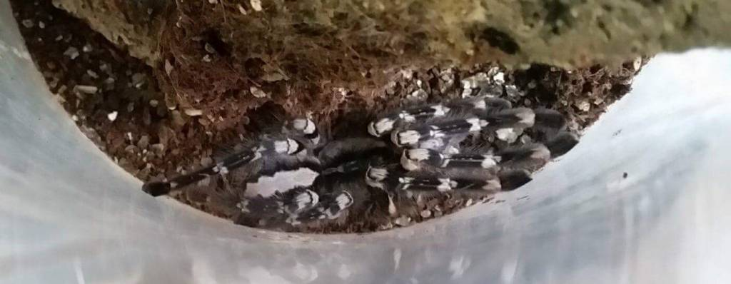 Magazoo Mygale ornementale indienne (femelle)/ Poecilotheria regalis