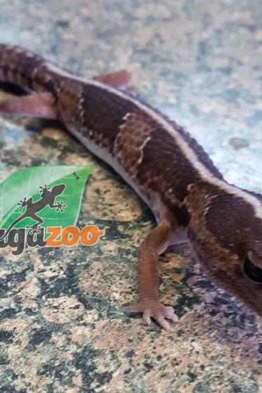 Magazoo Gecko à queue grasse (Fat tail) mâle queue repoussée