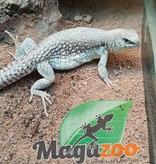 Magazoo Iguane désertique américaine mâle adulte