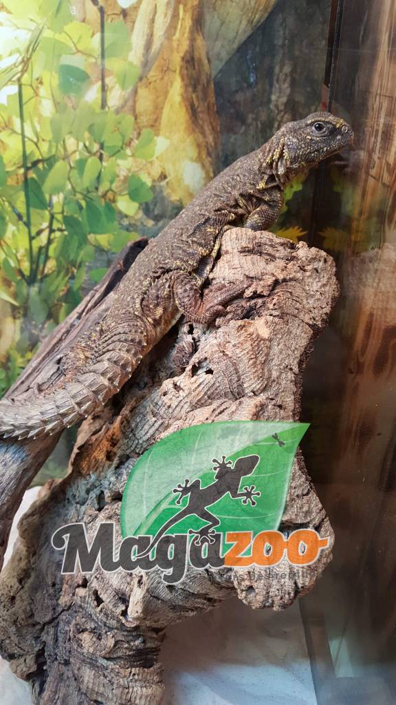 Magazoo Uromastyx du Niger jaune femelle juvénile