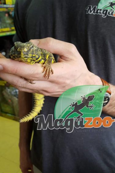 Magazoo Uromastyx du Niger Jaune Mâle Juvénil