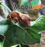 Magazoo Gecko à crête bébé